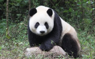 Pan'Pan Panda T.1 de Sato Horokura
