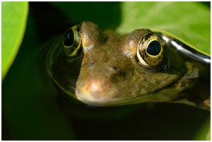 Grenouille verte by Jean-Jacques Boujot via Flickr