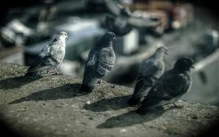L'œil du pigeon de Vidal et Plantevin
