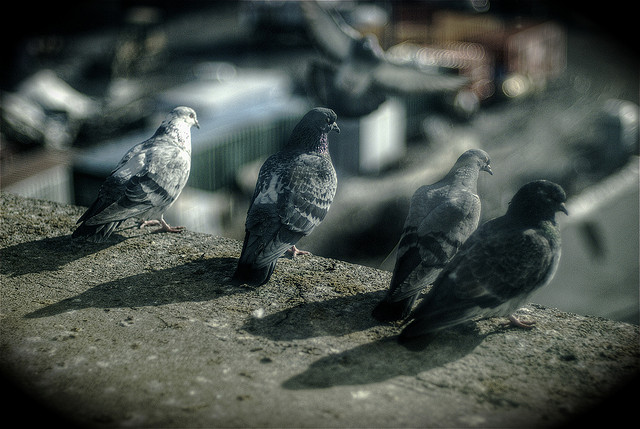 Pigeons by Ville Miettinen via Flickr
