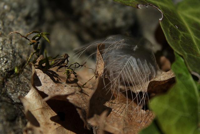 petite plume by bulbocode909 via Flickr
