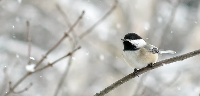 Mésange sous la neige by Oliver Bataille via Flickr