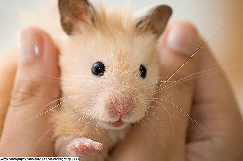 Our Hamster Remy by Lee Osbourne via Flickr