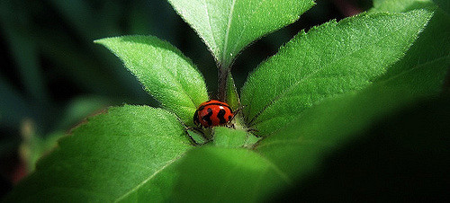 ladybird by debra via Flickr