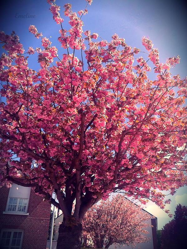 Cerisier japonais by Emeline Yulb via Flickr